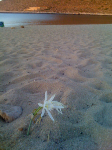 sand lilly